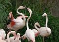 Flamingos Gesturing As Flamingos Do