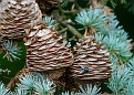 Pine Cones With Visiting Fly