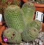 August082006 Image27 Mammillaria sp