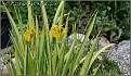 Iris pseudacorus variegata