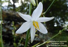 Chlorophytum nepalense