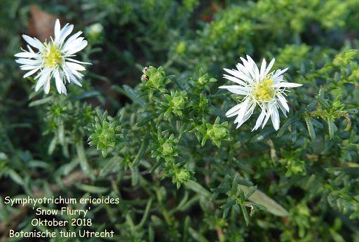 Symphyotrichum ericoides 'Snow Flurry'