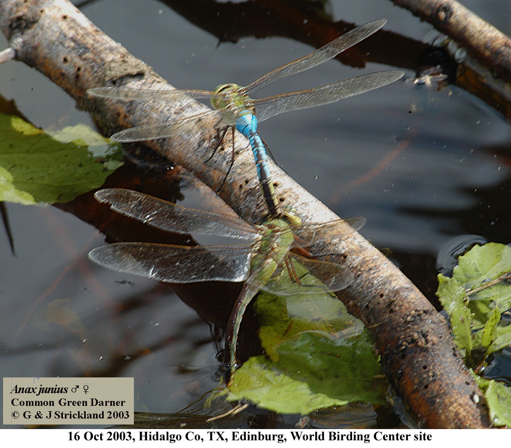 how to tell if a dragonfly is male or female