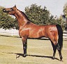 ALADDINN ECHO (*Aladdinn x Gamaara, by Gamaar) 1980 bay stallion